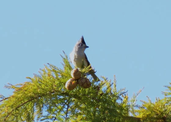 blackcrestedtitmouse1.jpg