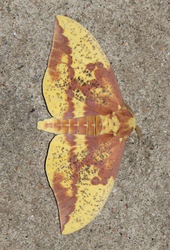 imperialmoth1.jpg