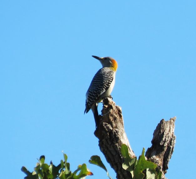 goldenfrontedwoodpecker1.jpg
